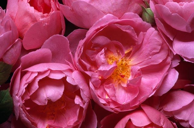 Rosa inglese John Clare