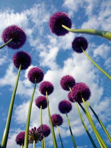 I fiori dell'aglio.